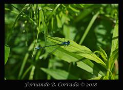 Aurora Damsel (8162) (fbc57) Tags: vermont bristol beavercreek sigma180f28apomacroexdgos nikond850 coenagrionidae zygoptera ponddamsels damselflies chromagrionconditum auroradamsel