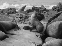 summer breeze (vfrgk) Tags: sealion seals animals wildlife rocks seaview seaside seascape ocean monochrome blackandwhite bnw bw