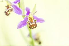Bee Orchid - Ophrys apifera (frattonparker) Tags: btonner bokeh brook depthoffield isleofwight lightroom6 macro nikkor105mmafsmicrof28ged nikond610 prime raw summer wildflower frattonparker