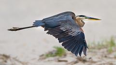Great Blue Heron (stephaniepluscht) Tags: alabama 2018 great blue heron bon secour national wildlife refuge fort morgan beach