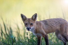 Daydreaming (NicoleW0000) Tags: redfox fox wild animal wildlife nature outdoor photography ontario field grass lensflare eyes mammal