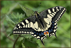 Swallowtail (image 2 of 3) (Full Moon Images) Tags: rspb strumpshaw fen wildlife nature reserve insect macro swallowtail butterfly