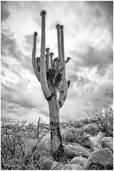 - The Sentinel - (claudiov958) Tags: arizona biancoenero blackwhite blancoynegro catalinastatepark černýabílý claudiovaldés czarnyibiały hdpentaxda6452845mmf45edawsr landscape mediumformat mediumformatdigital noiretblanc paisaje pentax645z pretoebranco schwarzundweiss tucson черноеибелое saguaro cactus carnegieagigantea clouds desert