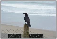 [][][] Beach Lookout Crow [][][] (Wolverine09J ~ 1.5 Million Views) Tags: midnightandoregonjun18 crow sitting avianwildlife seashore beach oregon northcoast springtime pacificocean waves post nature statepark feathersbeaks