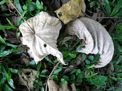 Macaranga tanarius (L.) Müll.Arg. (Ahmad Fuad Morad) Tags: macarangatanarius euphorbiaceae mahang parasolleaftree blushmacaranga nasturtiumtree davidsheart