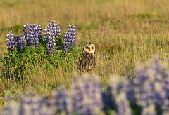 Short-eared owl 61 (brandugla) (Svenni and his Icelandic birds.) Tags: shortearedowl brandugla asioflammeus