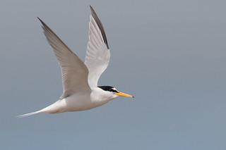 Little Tern-19