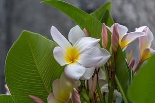 yellow, white & plum colored plumeria