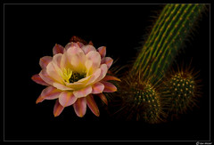 Cactus Flower (Ken Mickel) Tags: beautiful cacti cactus flower flowers flowersplants flowersonblack kenmickelphotography plants blackbackground blossom blossoms botanical closeup nature photography upclose