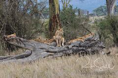 Lion Family resting on a Log (robsall) Tags: 2016 70200 7dmark2 7dmarkii 7dm2 7dmii africa africatourism africawildlifephotography africanwildlife big bigcat bigcats canon canon7020028 canon70200mm canon70200mmf28isiiusm canon7dmark2 canon7dmarkii canon7d2 canon7dm2 canoneos canoneos7dmark2 canoneos7dm2 carnivore cat endangered family feline largefelines lion lioness lions mammal pantheraleo predator robsallaeiral robsalldrone robsalldronephotography robsallphotography robsallwildlifephotography tanzania tanzania2016 vacation vulnerable mararegion