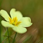 Yellow Primrose thumbnail