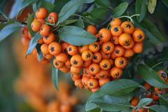 Berries_7879 (mannmadephotos) Tags: firethorn pyracantha berries fall pome deciduous shrub bush landscape
