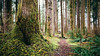 Time Grows (John Westrock) Tags: forest nature trail path depthoffield northbend trees washington pacificnorthwest canoneos5dmarkiii sigma35mmf14dghsmart