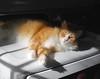 Jimmy on the clothes dryer (rootcrop54) Tags: jimmy orange ginger tabby male tabbies striped longhair strong light dark neko macska kedi 猫 kočka kissa γάτα köttur kucing gatto 고양이 kaķis katė katt katze katzen kot кошка mačka gatos maček kitteh chat ネコ