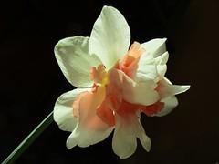 † DARK † (Éric…Mon chemin ⊰♥) Tags: daffodil narcisses printemps jonquille spring fiori flores flor flower flowers nature canon avril canonixius april 2018 blümen bokeh blüten vegetal végétal plant planta