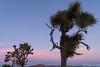 JoshuaTree_Moon-2 (Ken'sKam) Tags: joshuatreenp joshuatreenationalpark joshuatrees moon moonrise sunset nature california desert clouds