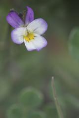 Viola tricolor (Daniel Escudero de Félix) Tags: pensamiento salvaje pensamientosalvaje wildflower wildflowers floressilvestres flores flowers flower flor macro ef100l eos 50d handlheld