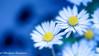 Spring (frederic.gombert) Tags: flower flowers light sun daisy sunlight color colors garden nikon plant blue white macro