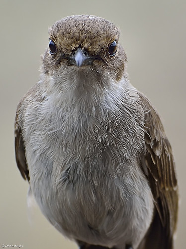 Marico flycatcher portrait