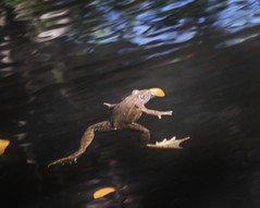 Eleutherodactylus augusti, Barking Frog (tripp.davenport) Tags: seminolecanyonstatepark valverdecounty tx eleutherodactylusaugusti barkingfrog amphibian