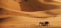 Life under Curves (Sanjiban2011) Tags: liwa moreebdunes talmoreeb theemptyquarter desert desertscape sanddunes sand camels curve animal landscape nature barren outdoor nikon d750 uae middleeast tamron tamron70200 fullframe