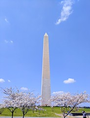 cherry blossoms in Washington (thucydides5) Tags: uncoolforx3snap uncool2 uncool3 uncool4 uncool5 cool uncool6 uncool7