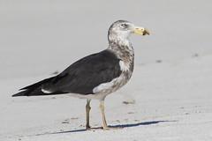 Pacific Gull 3rd w (Baractus) Tags: stumpysbay pacific gull john oates mount william national park tasmania australia pacificus inala nature tours pepper bush adventures