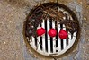 Three Radishes on a Storm Drain (ricko) Tags: radishes debris drain concrete werehere pineneedles 104365 2018 threeofakind