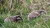 9Q6A8910 (2) (Alinbidford) Tags: alancurtis alinbidford badgercubs brandonmarsh nature wildlife
