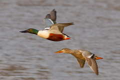 Northern Shoveler Pair (tresed47) Tags: 2018 201804apr 20180412bombayhookbirds april birds bombayhook canon7d content delaware ducks folder northernshoveler peterscamera petersphotos places season spring takenby us