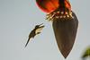 Colibri d'Helen (Mellisuga helenae)     CUBA (francisaubry) Tags: bird aves cuba nikon nikkor