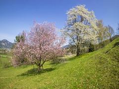 P4190033 (turbok) Tags: blüte gumpenstein kirschbaum landschaft nutzpflanzen pflanze c kurt krimberger