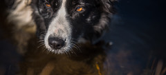 The sniffer tool (JJFET) Tags: border collie dog sheepdog