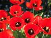 rote Tulpen (michaelmueller410) Tags: tulips red garden bloom blooming blossoms closeup macro rot schwarz black tulpen tulpe april frühling spring flowers blumen many lots garten nahaufnahme