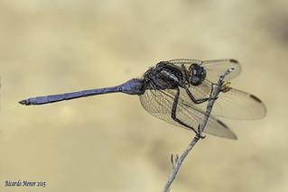 Orthetrum chrysostigma. Adult male