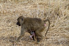 Olive Baboon with Baby (robsall) Tags: 2016 70200 7d 7dmarki africa africatourism africawildlifephotography africanwildlife baboons canon7020028 canon70200mm canon70200mmf28isiiusm canon7d canoneos canoneos7d family mammal olivebaboon olivebaboons papioanubis robsallaeiral robsalldrone robsalldronephotography robsallphotography robsallwildlifephotography tanzania tanzania2016 vacation manyararegion