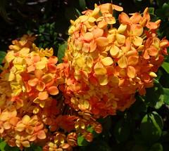 Ixoras to brighten up your Tuesday! (peggyhr) Tags: peggyhr ixora hawaii orange yellow sunshine flowers dedication dsc08621a thegalaxy thegalaxystars thegalaxylevel2 halloffamegallery thegalaxylevel2halloffame