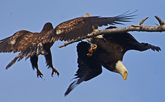 Snack attack (Snixy_85) Tags: frenchcreek eagles herring haliaeetusleucocephalus