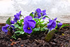 Freshly planted at the well - (rotraud_71) Tags: ostern stiefmütterchen pansies flowers well water macro fantasticflower