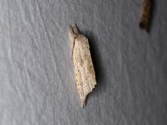 Ambadra sp. (dhobern) Tags: 2018 china lepidoptera march xtbg xishuangbanna yunnan notodontidae ambadra