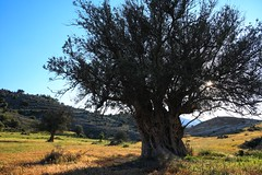 Olive tree at Agios Pantelaimonas (5) (Polis Poliviou) Tags: nature green tree wood root agriculture plant outdoors cyprustheallyearroundisland cyprusinyourheart yearroundisland zypern republicofcyprus κύπροσ cipro кипър chypre chipre кіпр кипар cypern kypr ©polispoliviou2018 polispoliviou polis poliviou πολυσ πολυβιου leaf field mediterranean oleaeuropaea naturepics flora grass environment healthy beauty motherearth art agricultural soil texture rough postcard brunch brown season countryside organic ecology ecological winter lovecyprus olivo ulivo wheatfield harvest sunlight naturephotography naturephotos landscapephotography