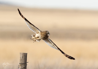 Short-eared Owl Takeoff 3 of 4