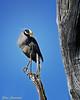 Yellow-Crowned-Night-Heron (Stan in FL) Tags: unitedstates southcarolina charleston audubonswampgarden yellowcrownednightheron nyctanassa violacea nikon d500 birds birding