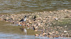 9Q6A8745 (2) (Alinbidford) Tags: alancurtis alinbidford brandonmarsh nature redshank wildbirds wildlife