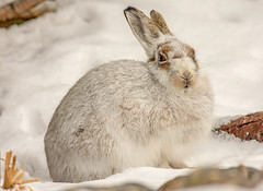 JWL7937 Mountain Hare.. (jefflack Wildlife&Nature) Tags: mountainhare mountain mountains hare hares animal animals snow wildlife moorland mammal scotland highlands findhorn countryside nature