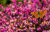 Comma, - Polygonia c-album (markhortonphotography) Tags: thevalleygarden comma markhortonphotography nature flower royallandscapes insect valleygardens eos7d surrey wildlife thatmacroguy polygoniacalbum spring macro colour invertebrate lepidoptera butterfly