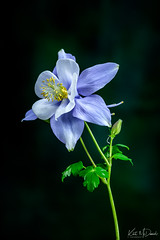 Blue Columbine (Kurt McDaniel) Tags: flowers garden closeup macro mygarden