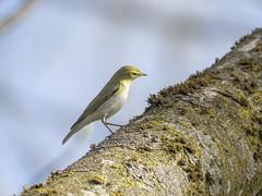 P4140033 (turbok) Tags: tiere vögel waldlaubsängerphylloscopussibilatrix wildtiere c kurt krimberger