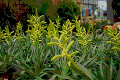 The Forest of Brom (allnights1) Tags: bromeliad tillandsia green false colour color
