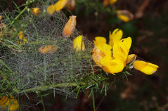 2018_04_0070 (petermit2) Tags: gorse spidersweb web ulley rotherham southyorkshire yorkshire